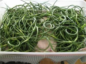 Fresh Garlic Scape Harvest