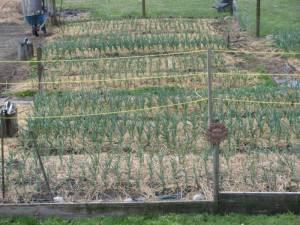 naturally grown garlic, ship Canada wide