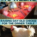 8 Pounds in 8 Weeks: Raising Day Old Chicks for the Dinner Table