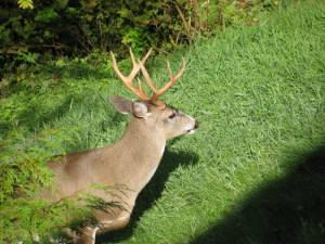 deer, hunting, BC