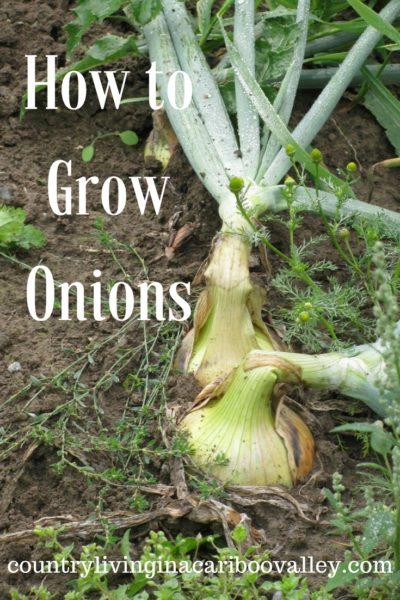 grow food, onion, walking onion, red onion