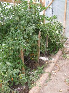 Greenhouse Tomato Crop