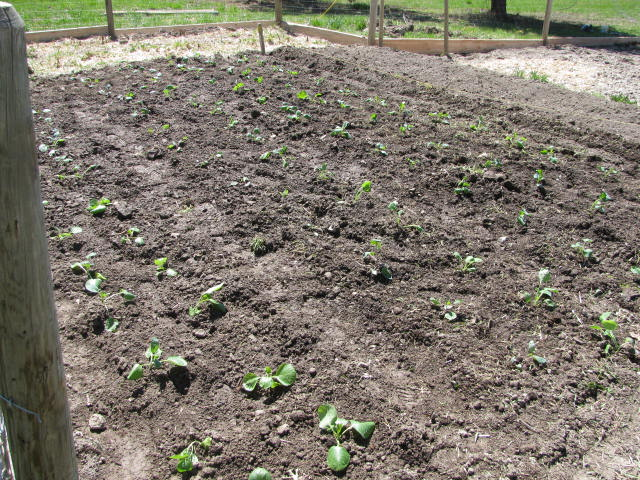 how to grow cabbage, grow your own food
