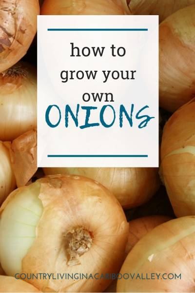 Onions are easy to grow and don't take much room. Here's how to grow awesome big onions. #onions #gardening #food