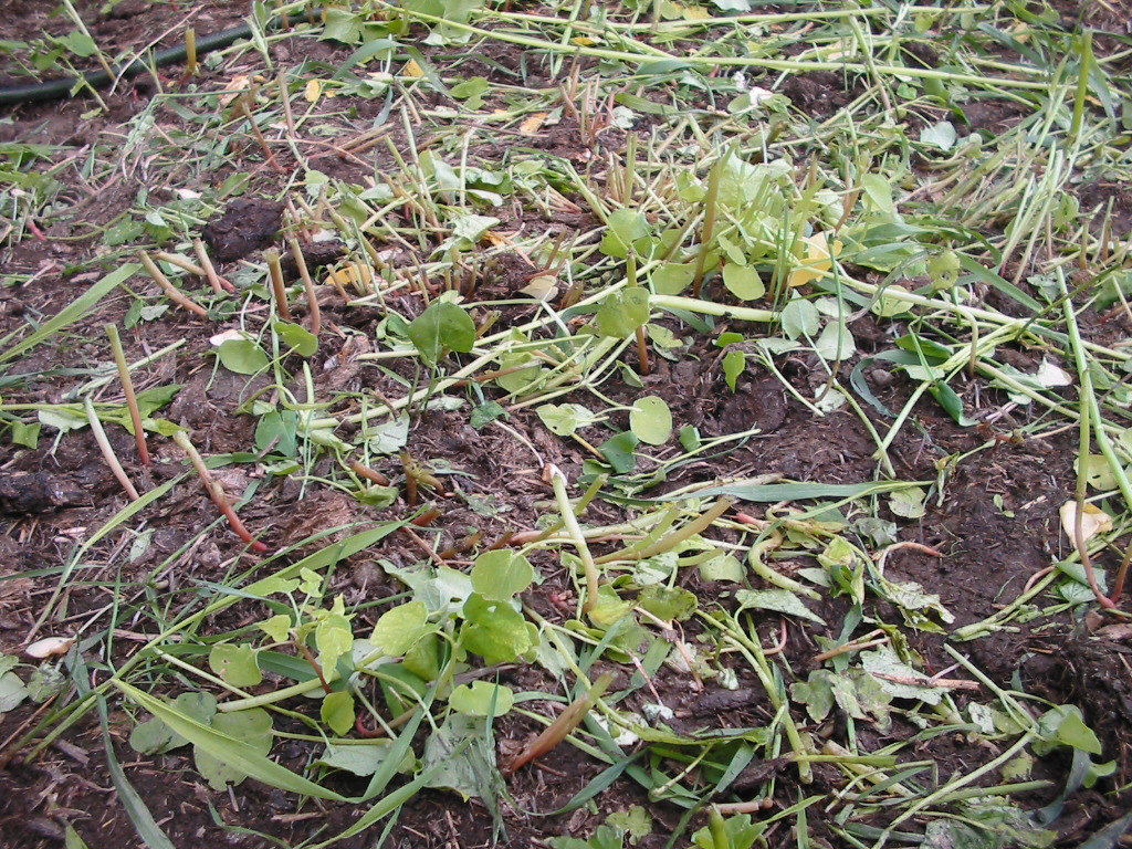 buckwheat, fall rye, green manure, cover crop, organic, garden