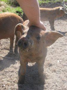 Weaner Piglet