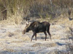 Moose in the Pasture