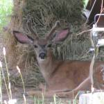 The Top 2 Rules About Wildlife on Our Homestead Property