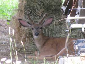 Buck Deer in the Barn