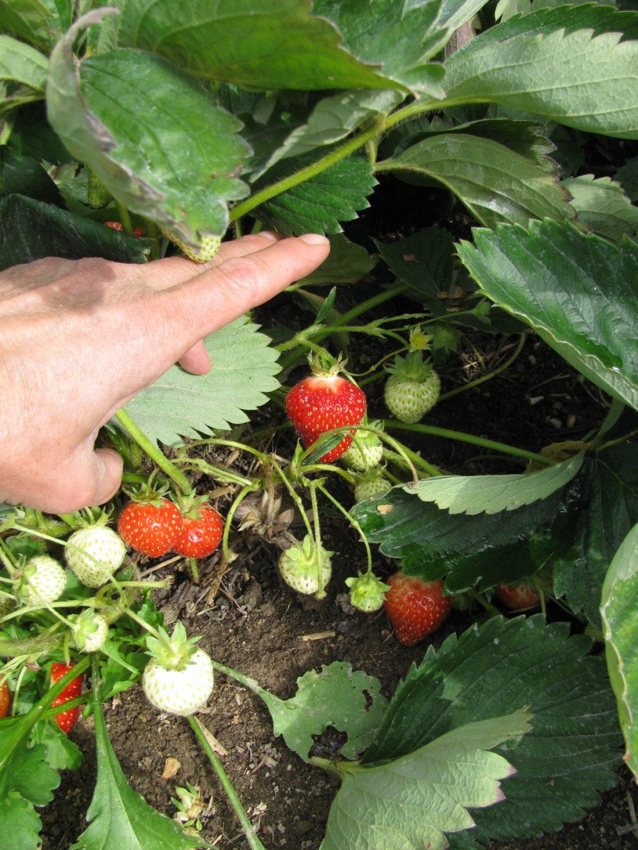 easy no cook strawberry jam, vertical gardening, berries