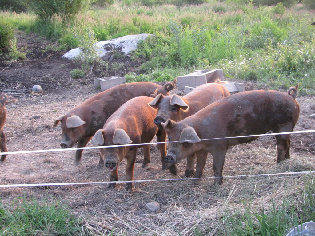 Here's how to raise pigs for meat. Fill your freezer with pork. #food #pig #homesteading