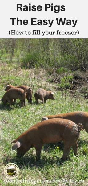 pigs eating pasture in the sun