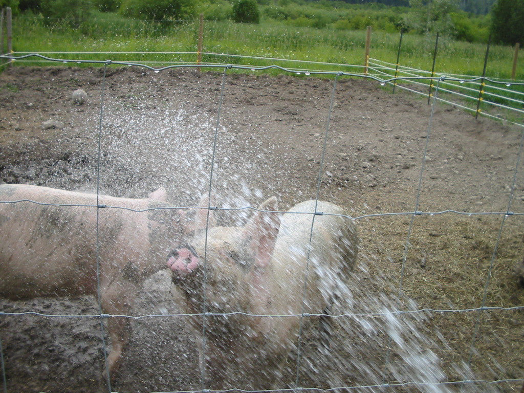 Raise your own meat for the freezer. #pig #meat #homesteading