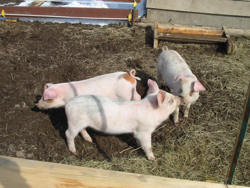 Raise and butcher pigs for meat #pig #garden #homesteading