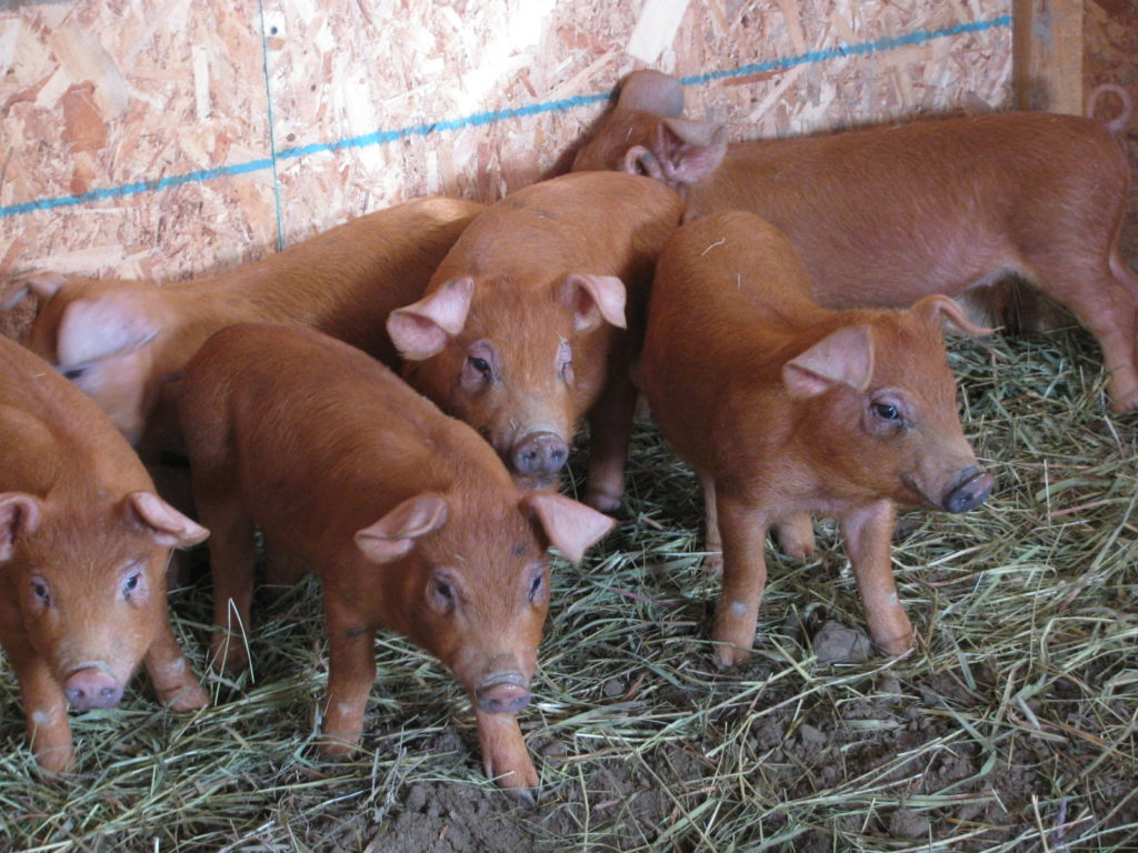 how to make a natural dewormer, raising pigs