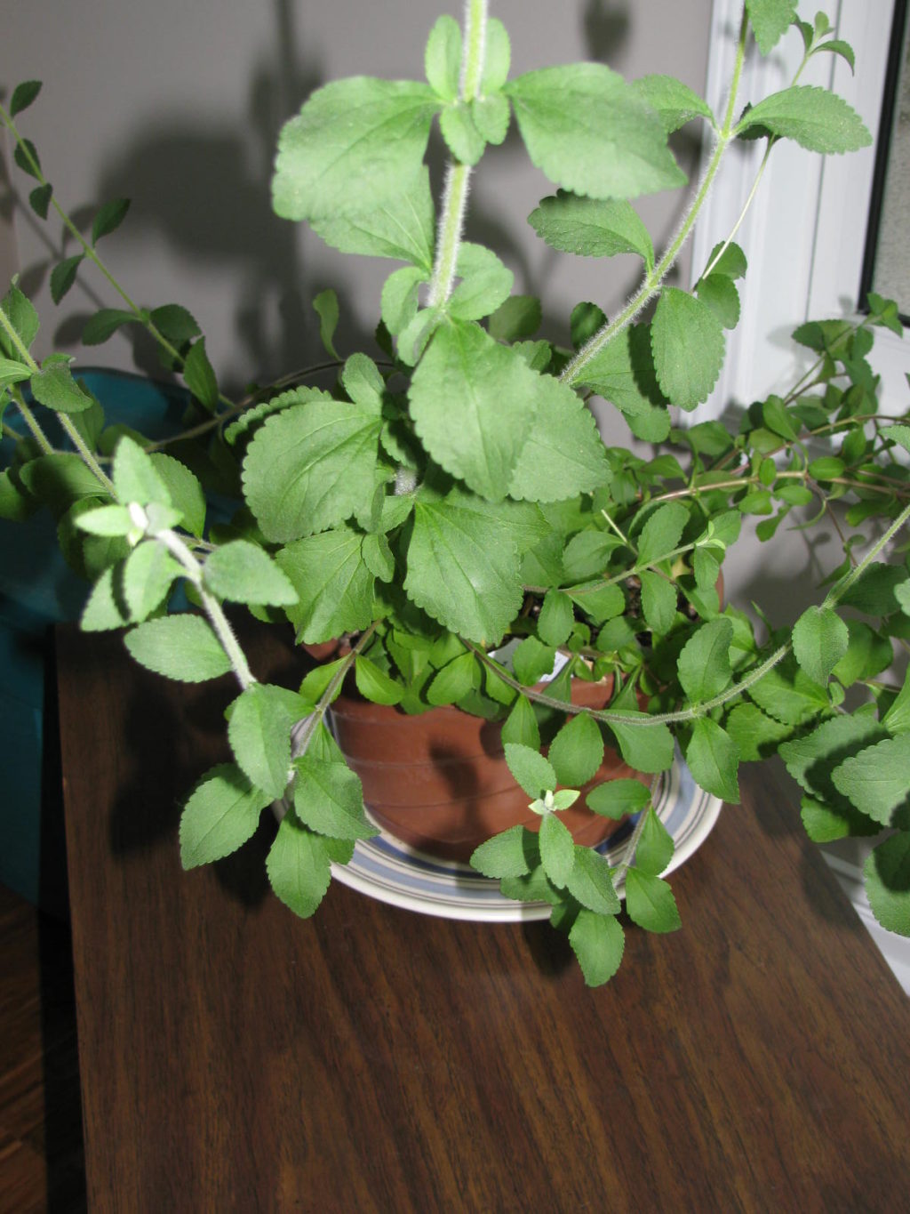 Grow Stevia as a houseplant and just snip leaves to use as a healthier sugar substitute.