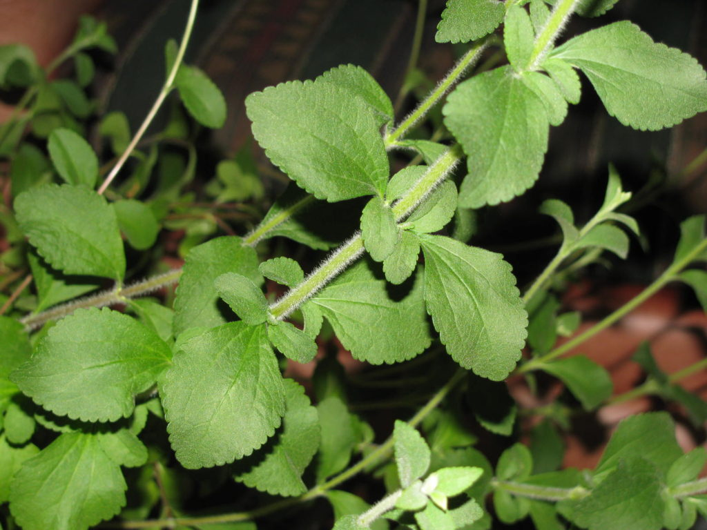 Grow Stevia as a house plant or in a sheltered area on your porch.