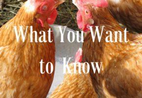 Chicken Farming 101