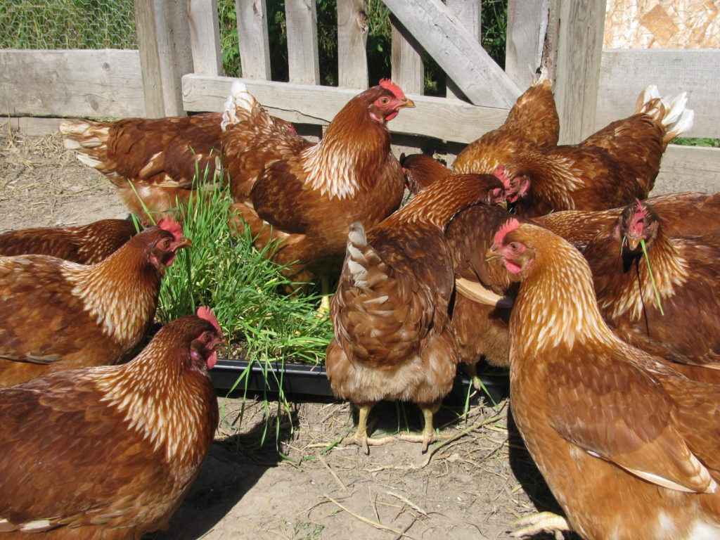 raise chickens, raise chicks, laying hens, grow fodder