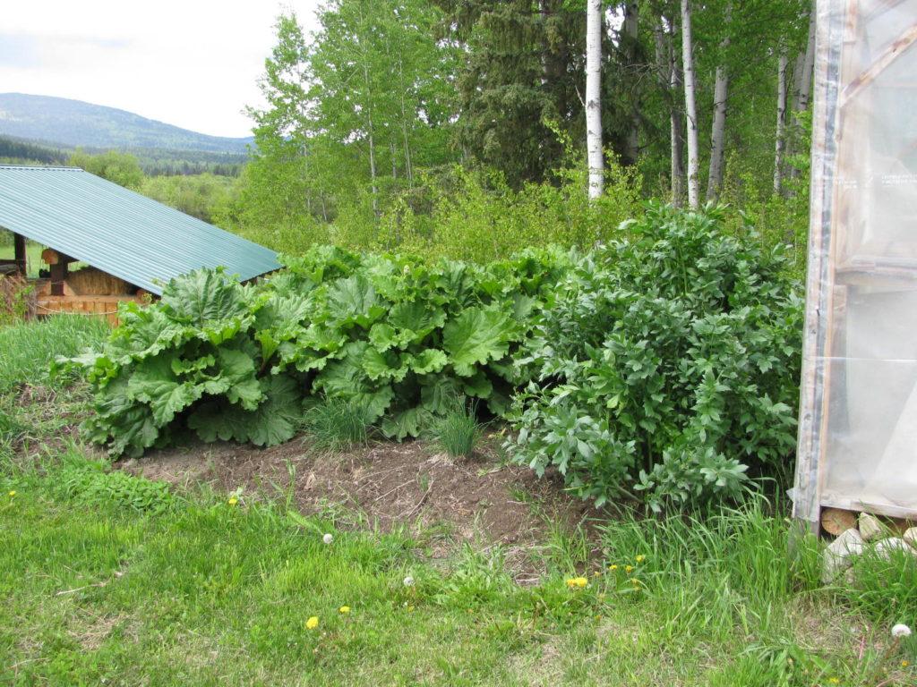rhubarb, perennial food