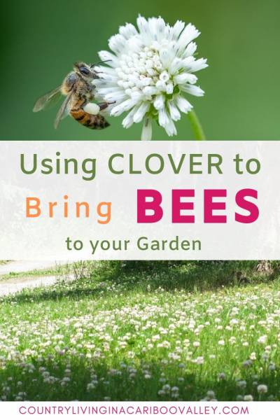 Use clover to bring bees to your garden. Bees love clover and will pollinate most of your vegetables and fruits. Help grow the bee population and plant clover instead of grass. #bees #landscape #backyard #DIYbackyard #foodpollination