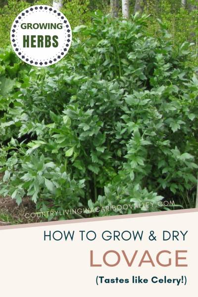 Easy to grow in a flower bed and beautiful to look at. Harvest the Lovage leaves and preserve them to use dry all winter long. #herbgarden #perennial #food