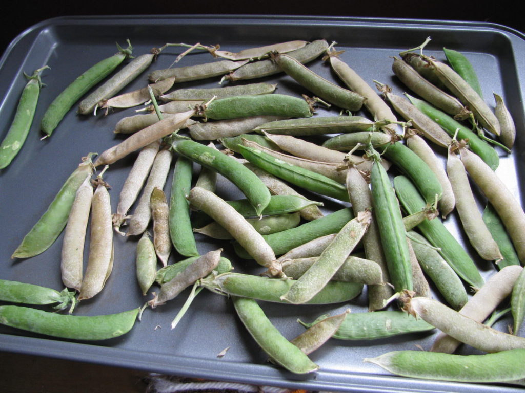 how to save pea seed, save seed