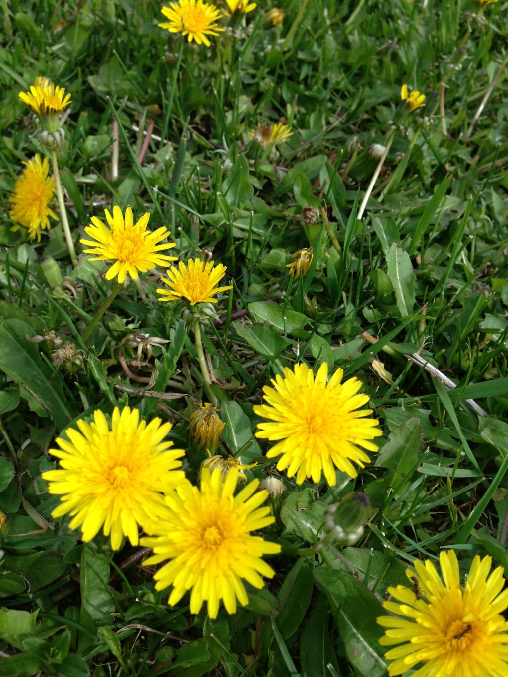 how to make dandelion jelly, make your own jam