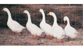 The Modern Homesteader's Guide to Keeping Geese