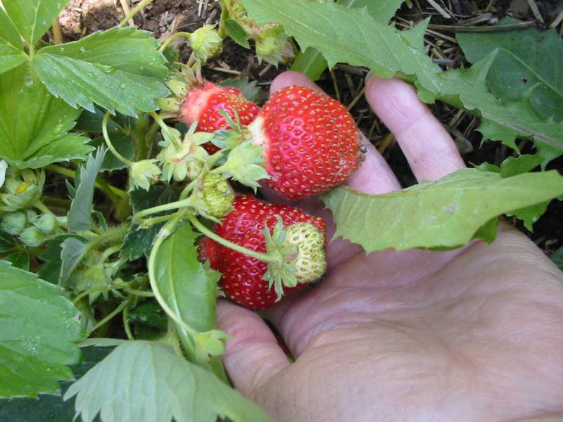 Big strawberries being picked for eating.