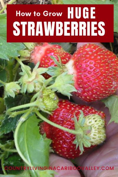 Want Big Juicy Strawberries? Here's what you need to do to grow bigger strawberries! #strawberries #gardening #berries