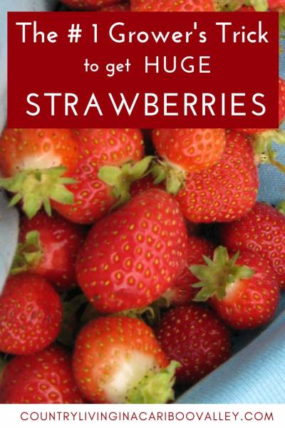 The #1 Hack you Need to do, in order to grow huge Strawberries. One simple thing will get you harvests of huge berries. #gardening #strawberry #berries #growstrawberries