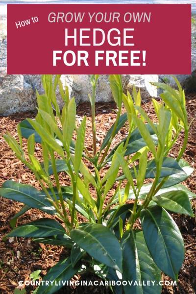 Grow a hedge for (almost) free. Here's how to start cuttings to grow your own hedge. Works for hardwood cuttings and softwood cuttings. #DIYgardening #hedge #landscapingideas #backyardDIY