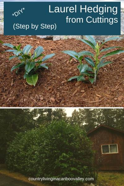 Don't pay top dollar for your hedge plants! Start your hedge for free. Here's how to take cuttings and grow your own perimeter hedging. Grow a laurel hedge from cuttings. #gardening #backyard #privacyhedge #DIYgardenproject
