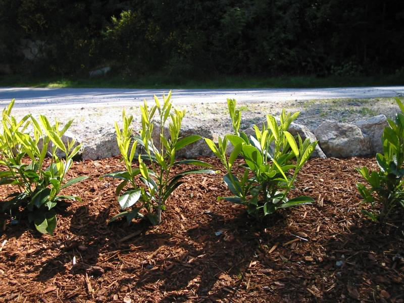 Grow a Laurel Hedge from Cuttings