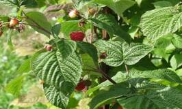 Raspberries growing on a well pruned shrub
